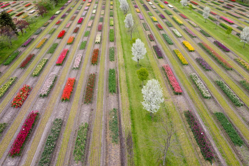 Aerial view shows Holland tulips in full bloom