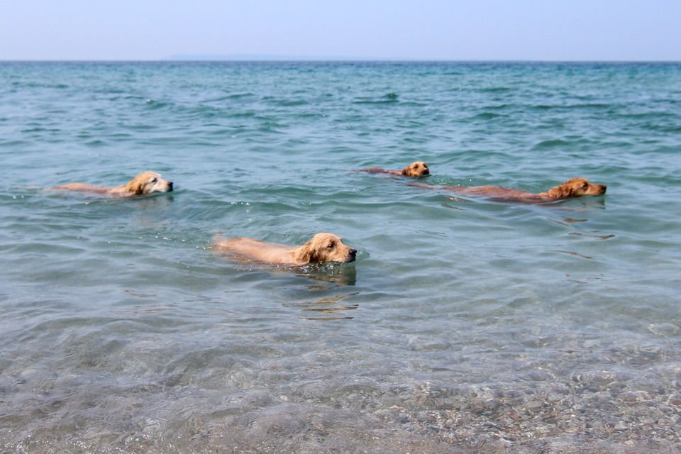 This golden retriever club is turning heads in Northern Michigan