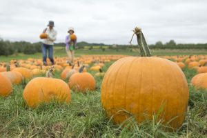 pumpkins at Jollay Orchards