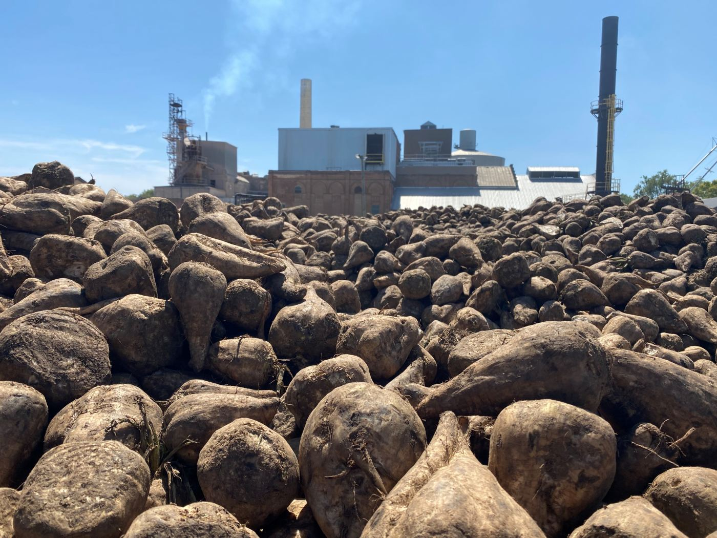 sugar beets in front of a Michigan Sugar Company processing plant