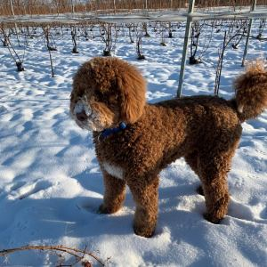 dog standing in the stone at a vineyard